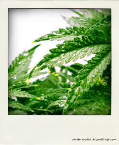 hemp_plant_0109_360x252-pola