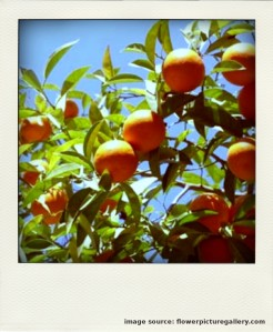 Orange fruit trees in the strong sun-pola